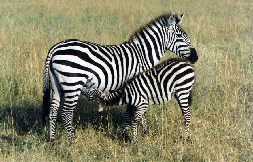 Zany Zebra photo of zebras For the sake of some little mouthful of flesh